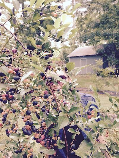 helen blueberry picking